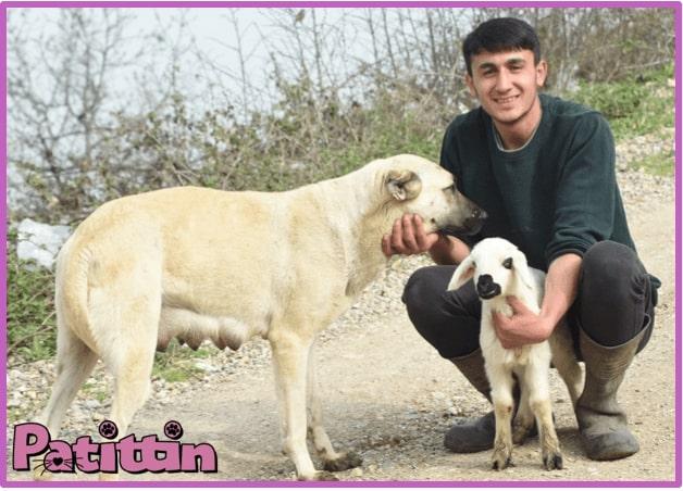 Çoban köpeği Sarı 7 yavrusuyla beraber kuzuya süt annelik yapıyor